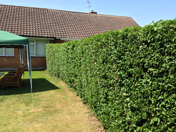 And the finished job, bi-annual maintenance on this hedge is rewarding every time.