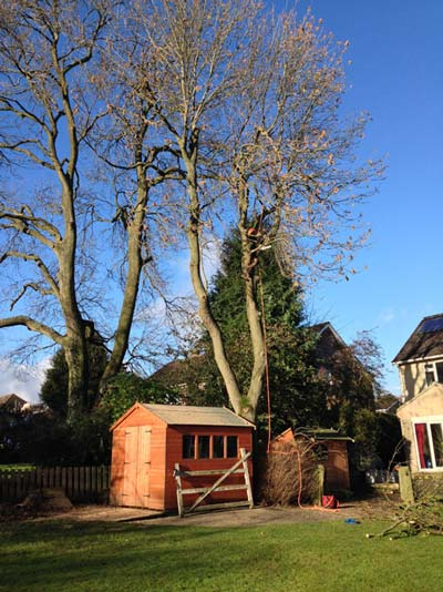 Crown lifting an ash tree to improve light in the rear part of the house