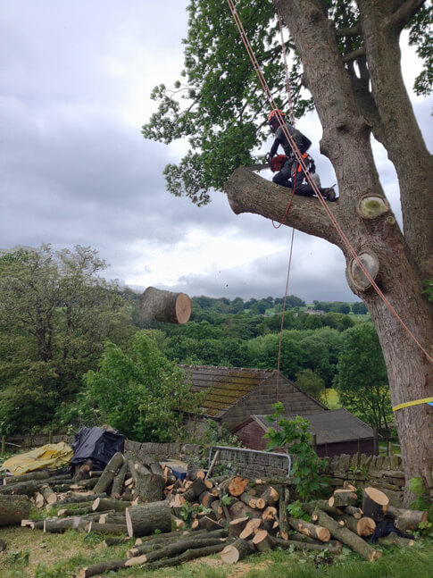Pete dismantling sections of the main Sycamore.