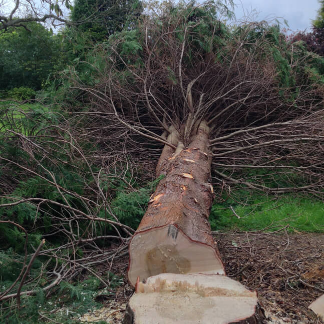 A cherry tree reduction and cypress removal in Whirlow