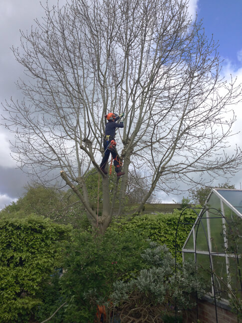 Conifer removal & various reductions in Crosspool