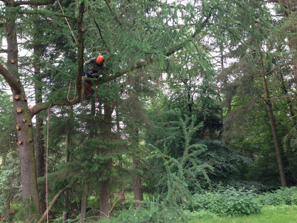 Crown lifting this Larch as part of rebalancing the tree.
