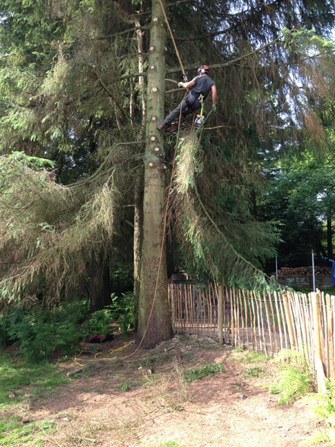 This Sitka Spruce had a great number of snapped branches, this partly dictated the height of the crown lift.