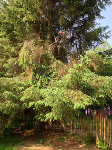 Removing snapped out branches in this Sitka Spruce, this lifting also improved airflow to the garden of the property.