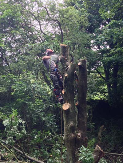 Dismantling the diseased rowan so no damage was done to the surrounding trees
