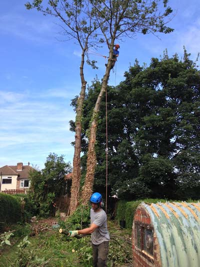 Removing cherry trees