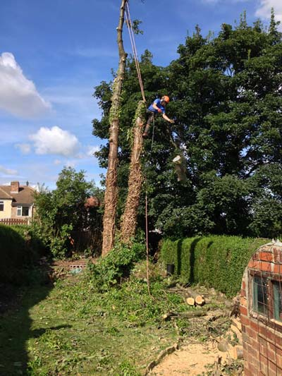 Tree being dismantled and removed
