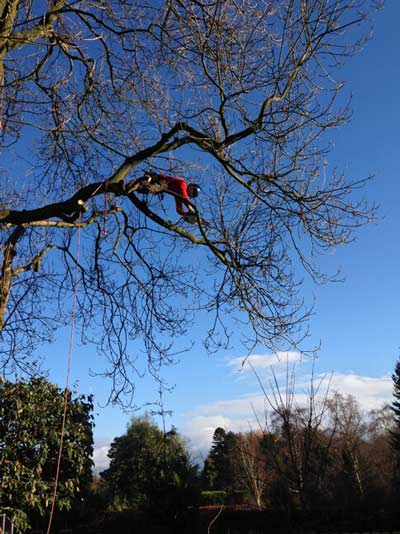 Crown lifting a large ash tree to reduce shading and increase light penetration