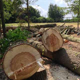 Felling Poplar stems using a winch.