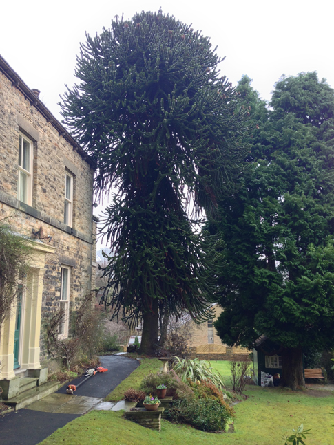 The monkey puzzle before the lifting, an extensive lower crown blocking light to the rear of the house