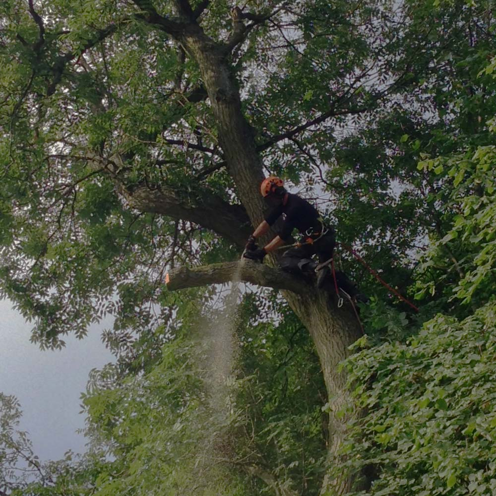 Diseased ash tree removal in Whirlow