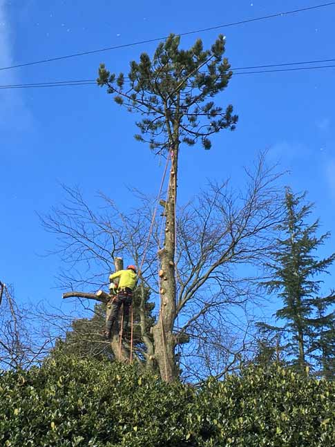Pine removal in Ranmoor