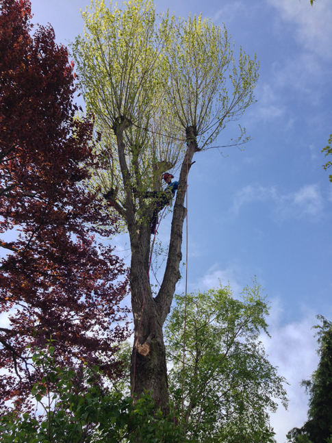 Poplar removal in Ecclesall, Sheffield