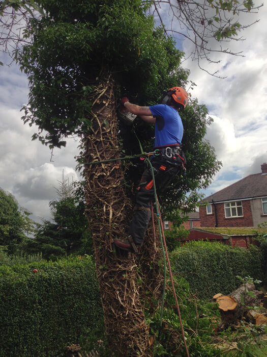 Tree being dismantled